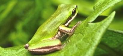 Arivali_frog