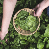 Picking spinach in a home garden. Bio spanach.